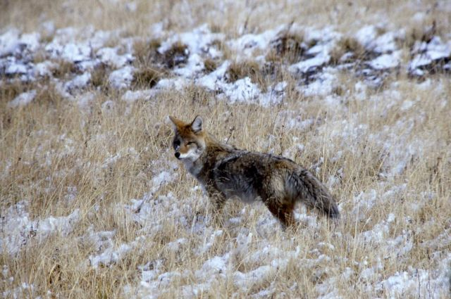 Coyote mousing Picture