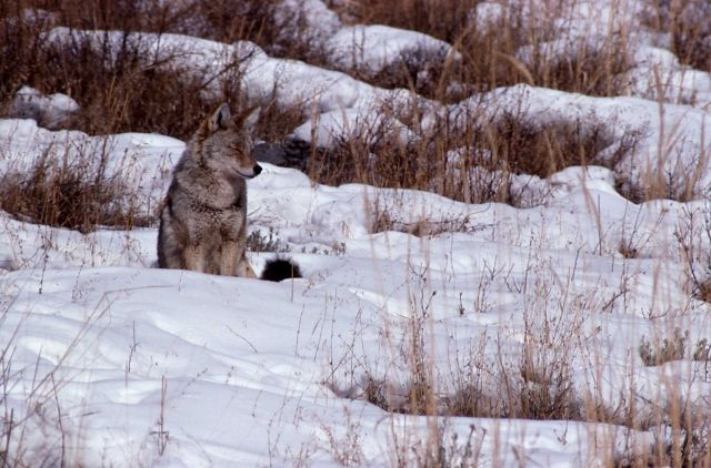 Coyote sitting in snow Picture