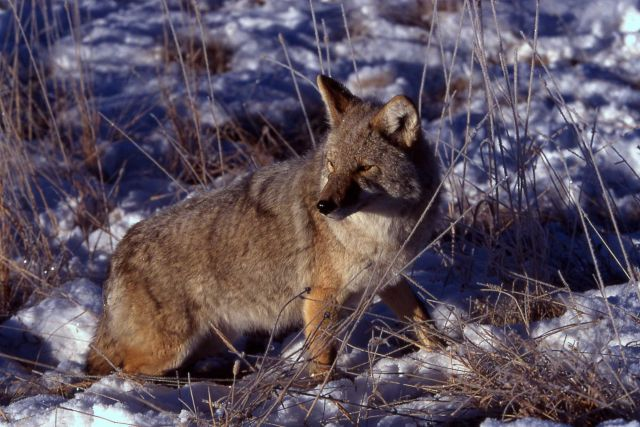 Coyote in Lamar Valley in winter Picture
