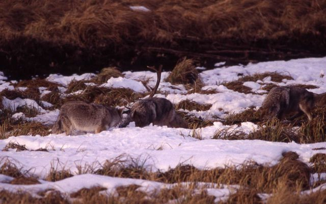 Coyote eating elk near Geode Creek Picture