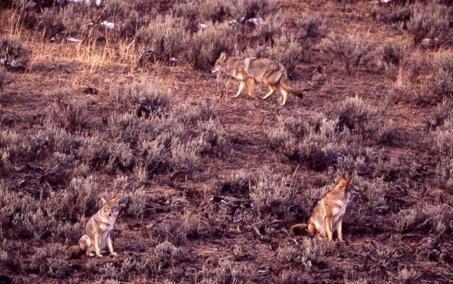 Coyote pack near Geode Creek Picture