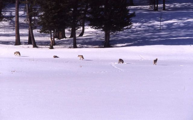 Coyote pack in snow at Floating Island Lake Picture