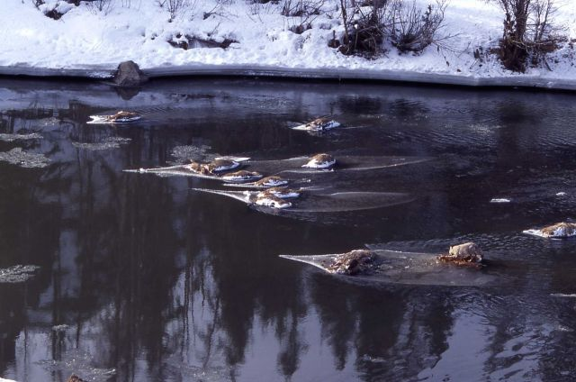 Coyote on elk carcasses - 14 elk fell through ice on Lamar River Picture