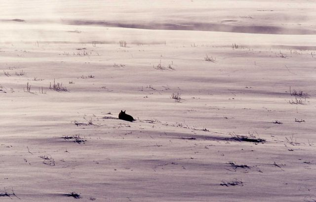Coyote in snow at Soda Butte Picture