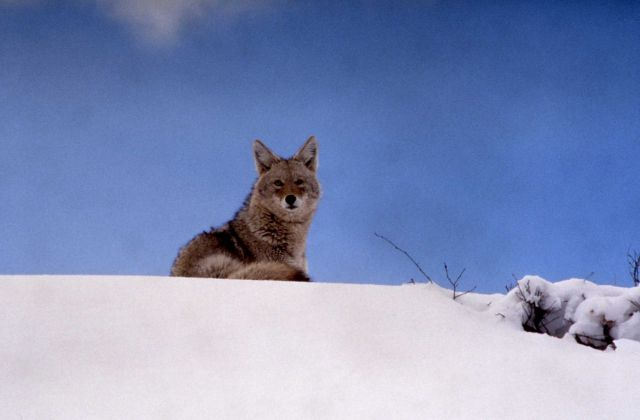 Coyote in snow east of Yellowstone River by northeast entrance road Picture