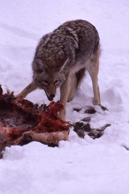 Coyote on elk carcass in winter in Lamar Valley Picture