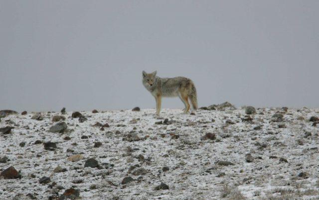Coyote near Soda Butte Creek Picture