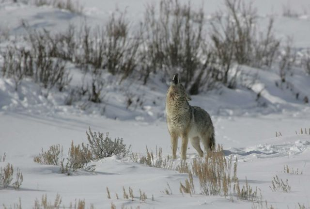 Coyote howling in Lamar Valley Picture