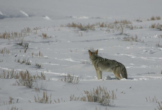 Coyote in Lamar Valley Picture
