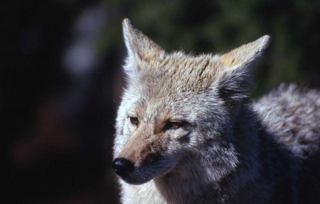 Coyote Picture