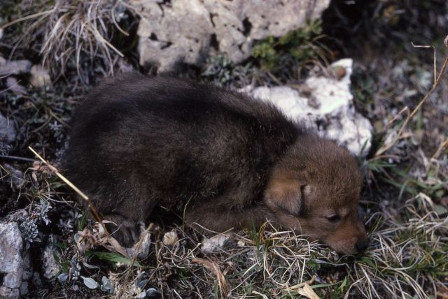 Coyote pup Picture