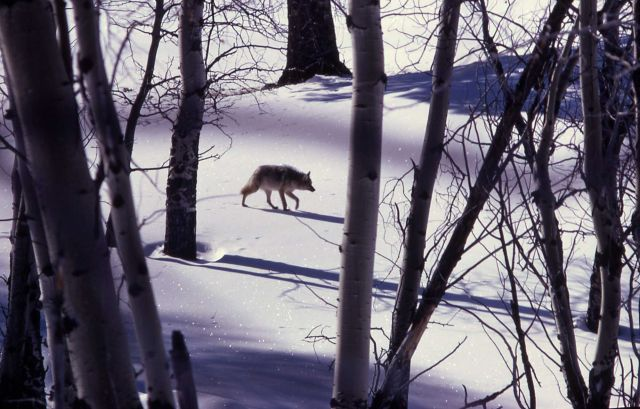 Coyote walking in snowy meadow Picture