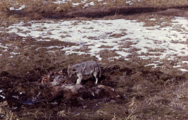 Coyote on a carcass Picture