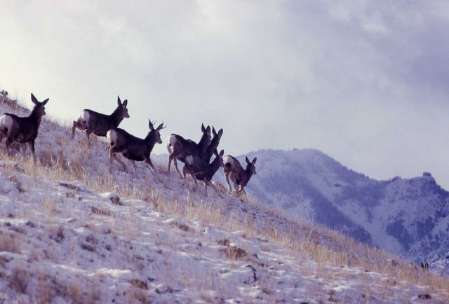 Small herd of mule deer does on hillside Picture