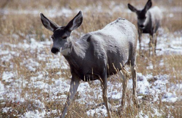 Mule deer doe Picture