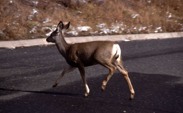 Mule deer doe crossing road Picture