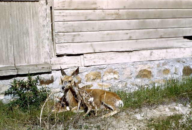 Mule deer doe & fawns (twins) near structure - location unknown Picture