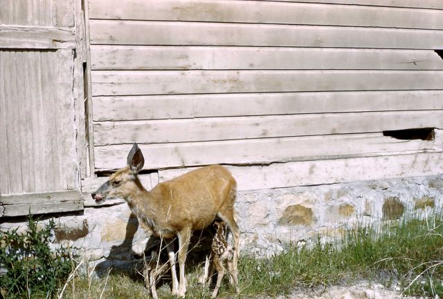 Mule deer doe & fawns (twins) nursing near unknown structure Picture