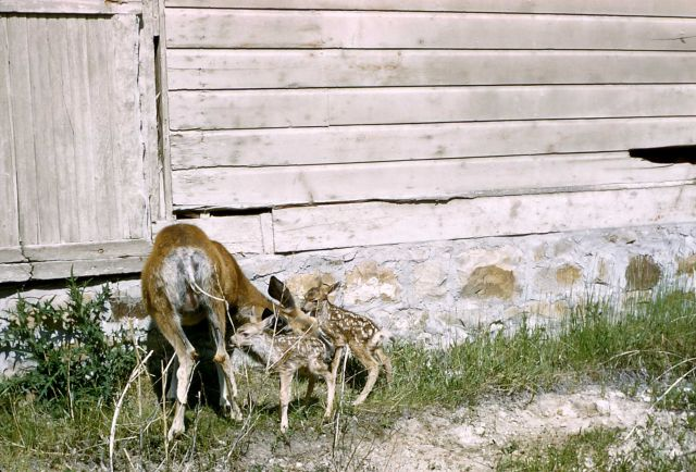 Mule deer doe & fawns (twins) near structure in unknown location Picture