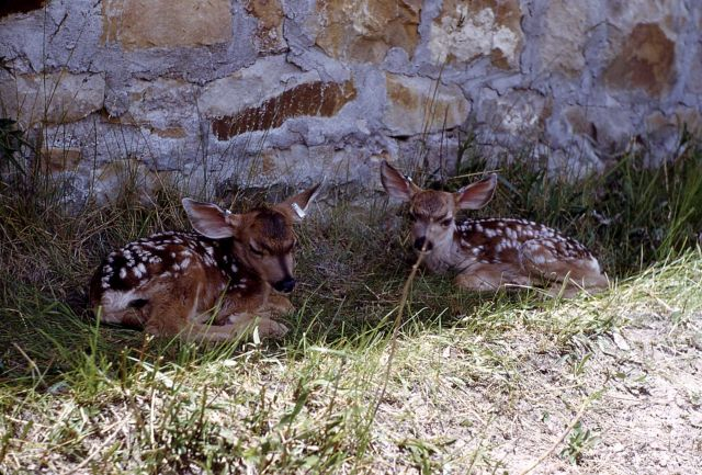 Mule deer fawns beside building Picture