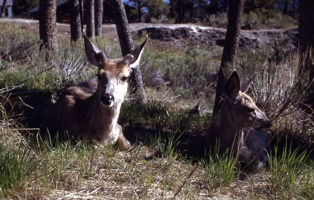 Mule deer does sitting in trees Picture