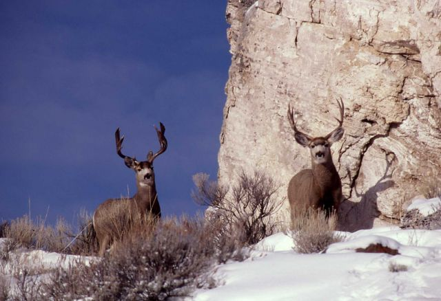 Two mule deer bucks in snow Picture
