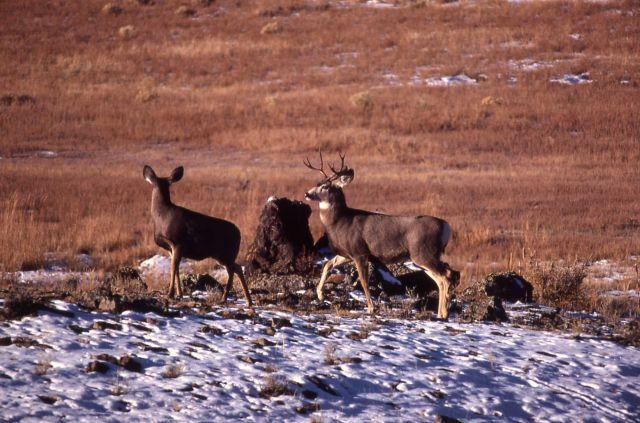 Mule deer buck & doe Picture