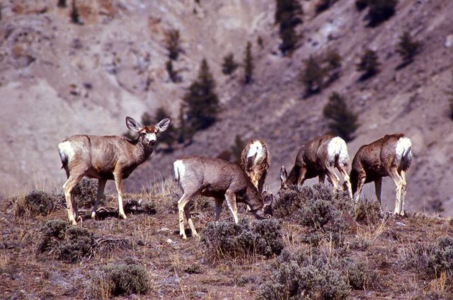 Several mule deer does grazing Picture