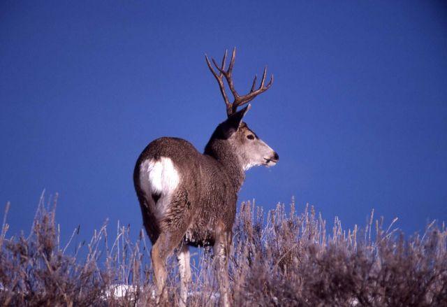 Mule deer buck in snow Picture