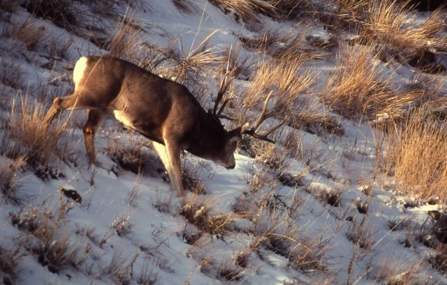 Mule deer buck in snow Picture