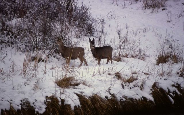Two mule deer does Picture