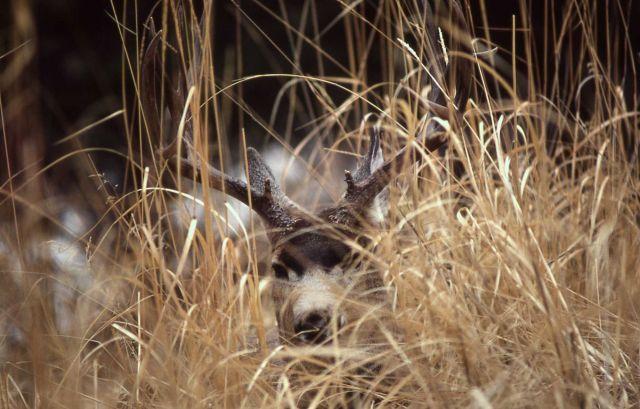 Mule deer buck lying in grass Picture