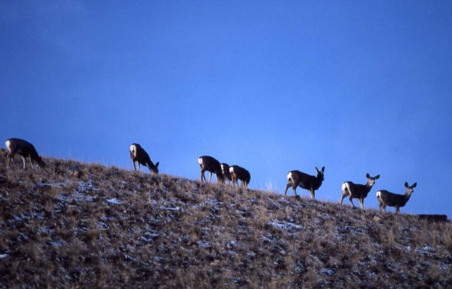 Eight mule deer does on sky line Picture