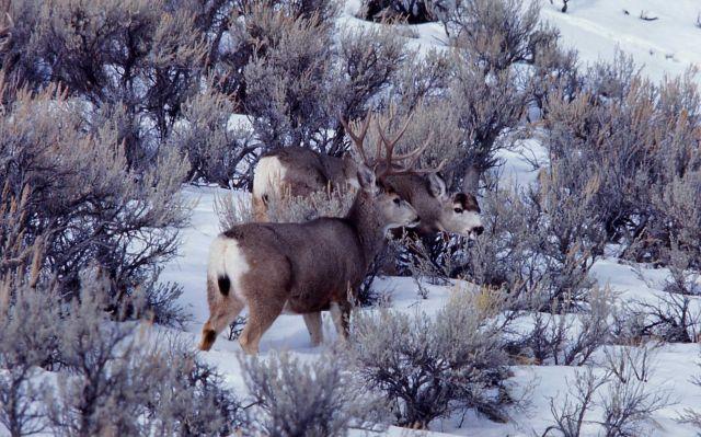 Mule deer buck & doe in snow Picture