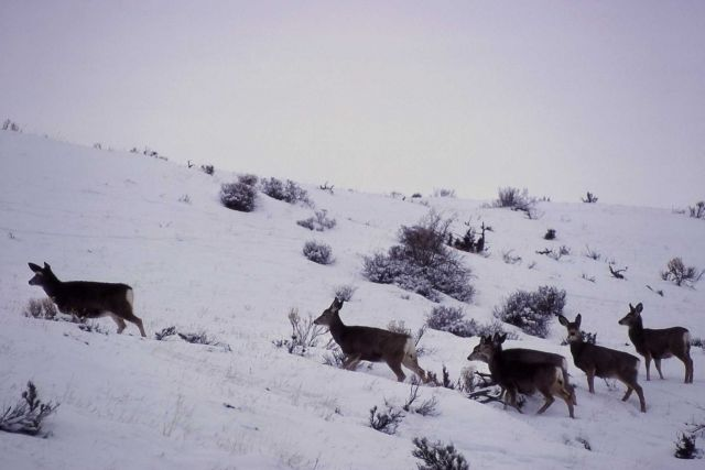 Six mule deer does in snow Picture