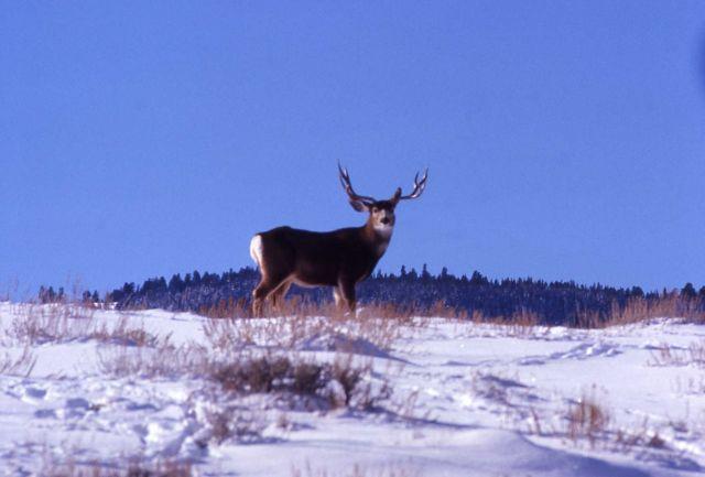 Mule deer buck in snow in Mammoth Picture