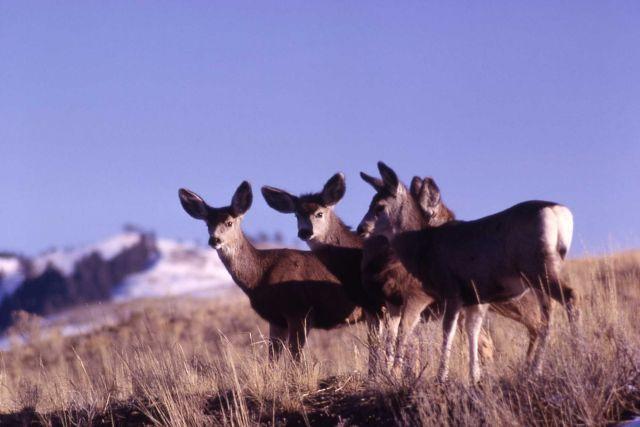 Mule deer Picture