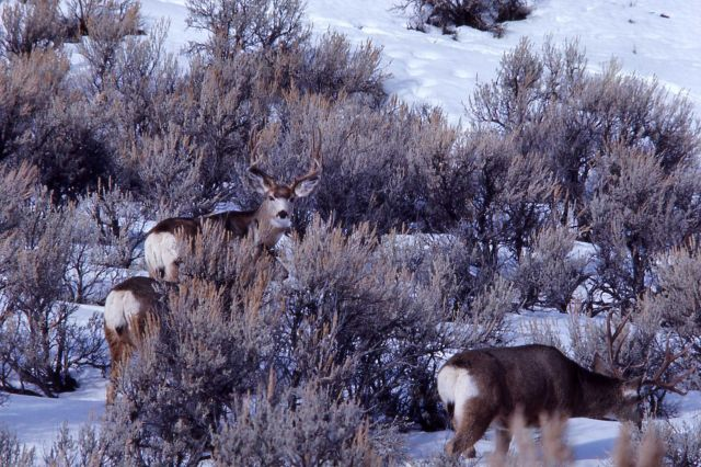 Mule deer in snow Picture