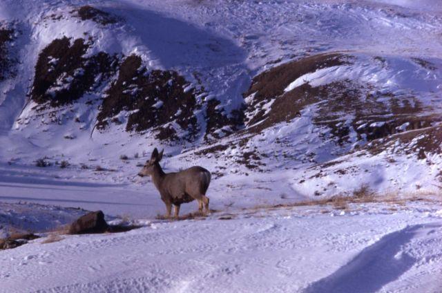 Mule deer in snow Picture