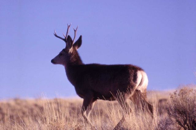 Mule deer buck Picture