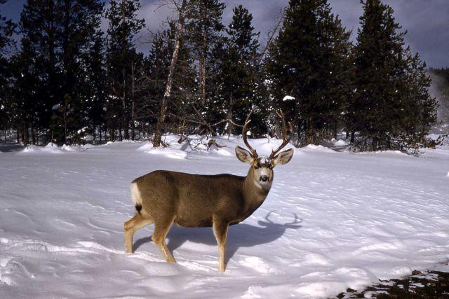 Mule deer buck Picture