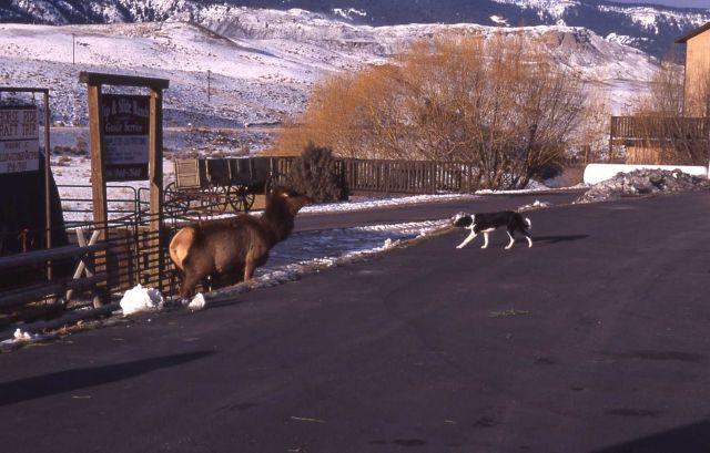 Dog & elk in Gardiner, Montana Picture