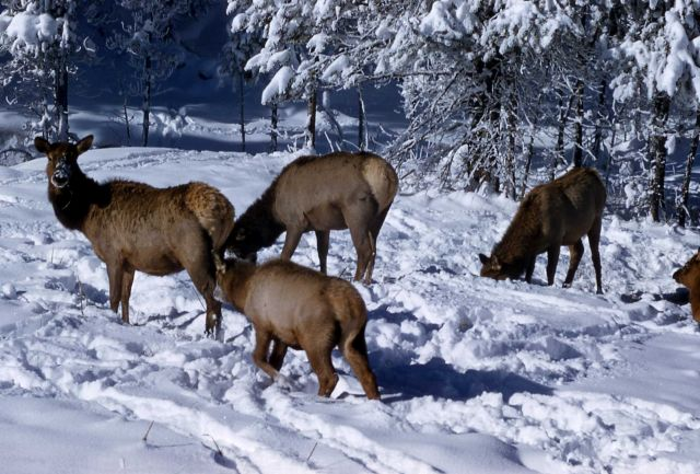 Elk cows Picture