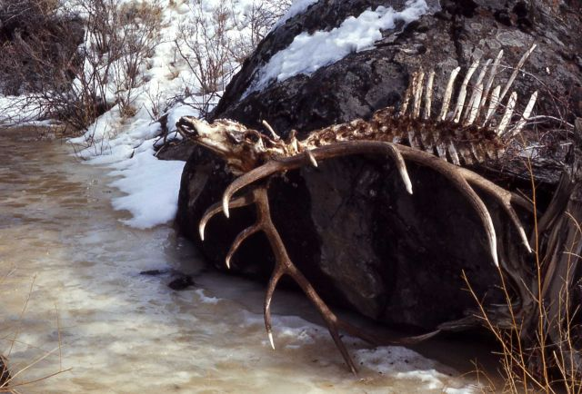 Elk winter kill carcass Picture