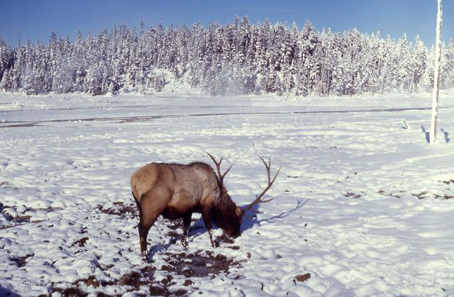 Bull elk at Norris Geyser Basin Picture
