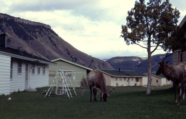 Elk in Mammoth residence area Picture