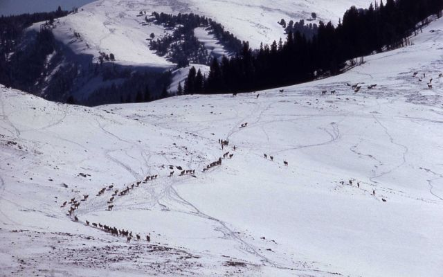 Elk on Specimen Ridge in winter Picture