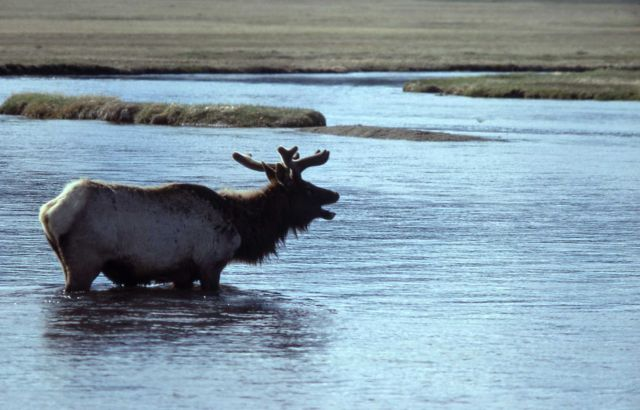 Elk in river Picture