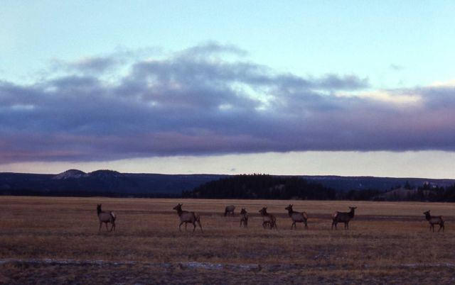 Elk at Fountain Flat in early morning Picture