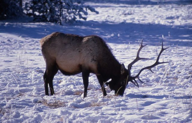 Elk at Gibbon river Picture